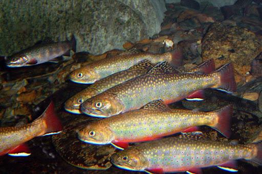 ماهی قزل آلا رنگین کمانی