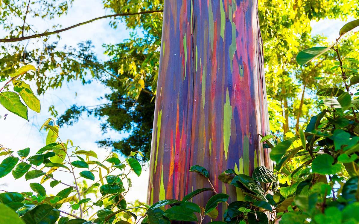 rainbow-eucalyptus-1