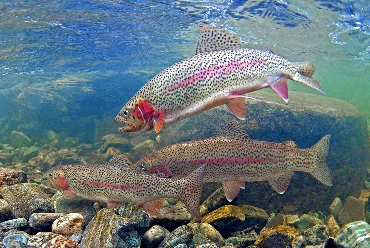 ماهی قزل آلای رنگین کمان